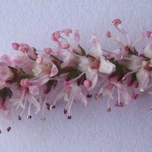 Photographie n°226902 du taxon Tamarix tetrandra Pall. ex M.Bieb. [1808]