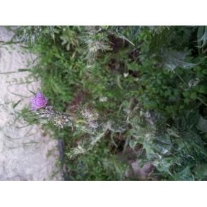 Acacia verticillata (L'Hér.) Willd. (Prickly Mimosa)