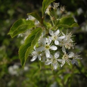 Photographie n°227219 du taxon Prunus mahaleb L.