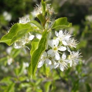 Photographie n°227220 du taxon Prunus mahaleb L.