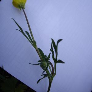 Photographie n°227227 du taxon Ranunculus bulbosus L. [1753]