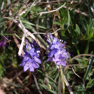 Photographie n°227245 du taxon Veronica prostrata L. [1762]