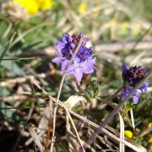 Photographie n°227250 du taxon Veronica prostrata L. [1762]