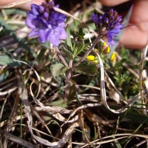 Photographie n°227251 du taxon Veronica prostrata L. [1762]