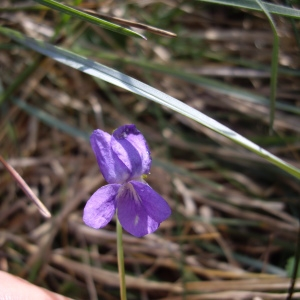 Photographie n°227252 du taxon Viola hirta L. [1753]