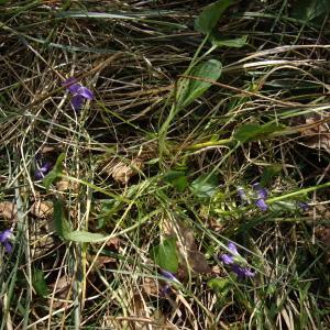 Photographie n°227253 du taxon Viola hirta L.