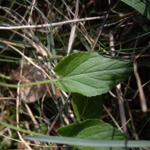 Photographie n°227255 du taxon Viola hirta L.