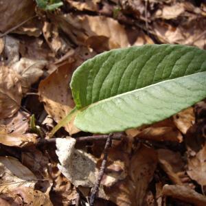 Photographie n°227278 du taxon Polygonum bistorta L.