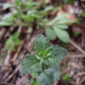 Photographie n°227293 du taxon Veronica chamaedrys L. [1753]