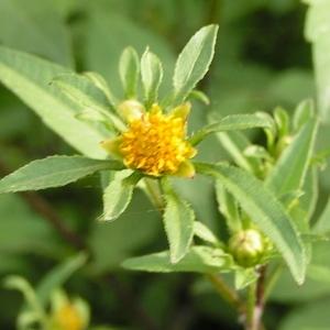 Bidens tripartita L. subsp. tripartita (Bident à feuilles tripartites)