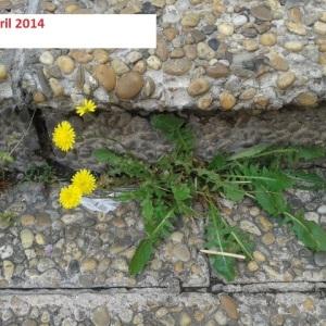 Photographie n°227382 du taxon Crépis de Nîmes