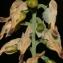 Errol Vela - Fumaria capreolata L.