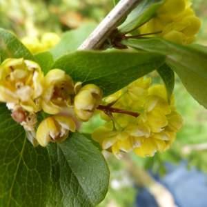 Berberis vulgaris L. [1753] (Épine-vinette)