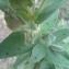 popol06 - Cistus albidus L.