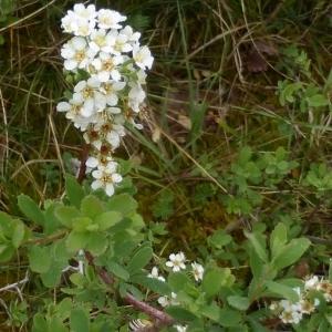 Photographie n°227608 du taxon Spiraea hypericifolia subsp. obovata (Waldst. & Kit. ex Willd.) H.Huber [1964]