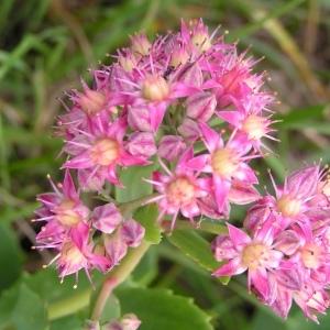 Hylotelephium argutum (Haw.) Holub (Orpin à feuilles de fève)