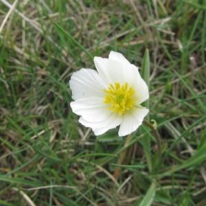 Ranunculus kuepferi Greuter & Burdet (Renoncule de Küpfer)