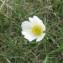 Jean Ciroux - Ranunculus pyrenaeus subsp. kuepferi (Greuter & Burdet) J.M.Tison