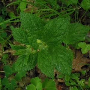 Photographie n°227680 du taxon Melittis melissophyllum L. [1753]