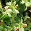 Alain Bigou - Lysimachia arvensis subsp. arvensis