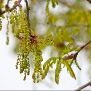 Photographie n°227778 du taxon Quercus pubescens Willd. [1805]