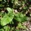 Claire Rigoulat - Arum maculatum L. [1753]