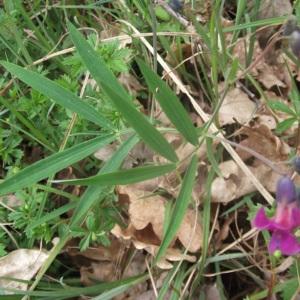 Photographie n°227864 du taxon Lathyrus linifolius f. linifolius