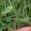 Mathieu Sinet - Lathyrus linifolius f. linifolius