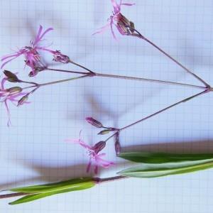 Photographie n°227915 du taxon Lychnis flos-cuculi L. [1753]