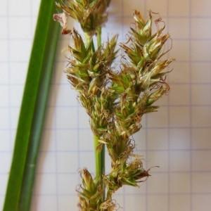 Photographie n°227926 du taxon Carex paniculata L.