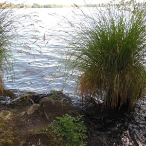 Photographie n°227937 du taxon Carex paniculata L.