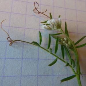 Photographie n°227955 du taxon Vicia hirsuta (L.) Gray