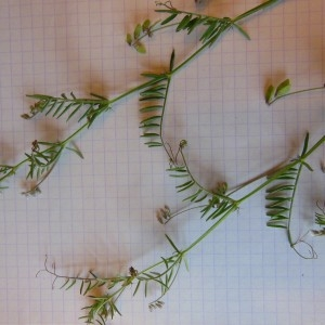 Photographie n°227958 du taxon Vicia hirsuta (L.) Gray