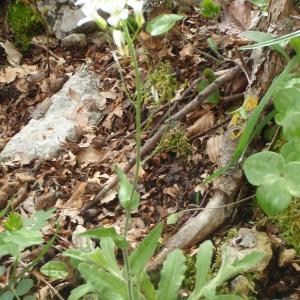 Photographie n°228002 du taxon Arabis alpina L. [1753]