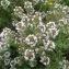 - Thymus vulgaris L. [1753]