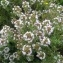 Ophelit - Thymus vulgaris L.