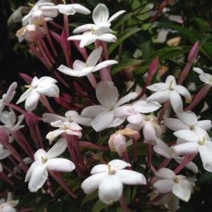 Photographie n°228060 du taxon Jasminum officinale L. [1753]