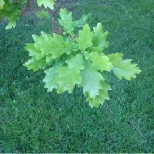 Photographie n°228078 du taxon Quercus robur L. [1753]