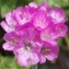 Jean-Claude Echardour - Armeria maritima Willd.