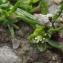 Jean-Claude Echardour - Sagina procumbens subsp. procumbens