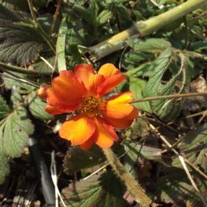 Photographie n°228104 du taxon Geum coccineum hort.