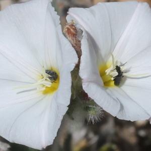 Convolvulus lanuginosus Desr. (Liseron duveteux)