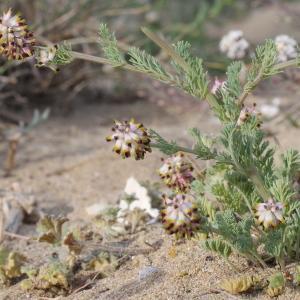 Photographie n°228286 du taxon Platycapnos spicata (L.) Bernh.