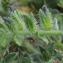 Marie  Portas - Echium arenarium Guss. [1826]