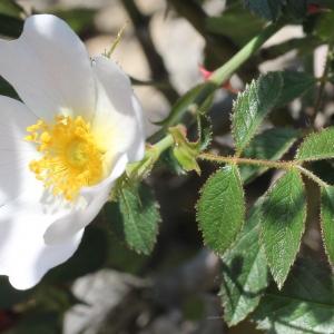 Photographie n°228315 du taxon Rosa agrestis Savi