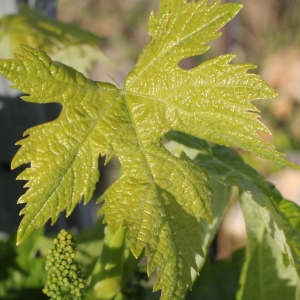 Vitis vinifera L. subsp. vinifera (Vigne)