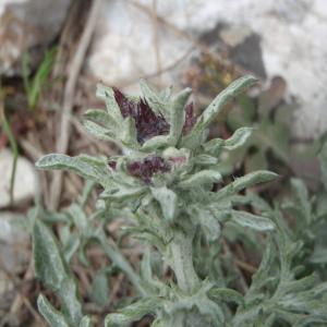 Photographie n°228553 du taxon Centaurea paniculata L. [1753]