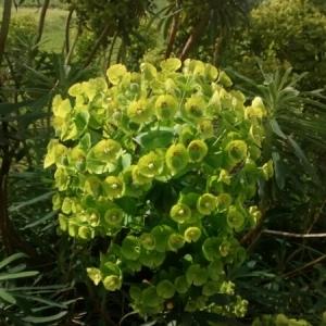Photographie n°228697 du taxon Euphorbia palustris L. [1753]