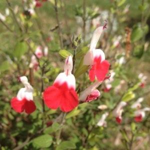 Photographie n°229017 du taxon Salvia microphylla Kunth [1818]