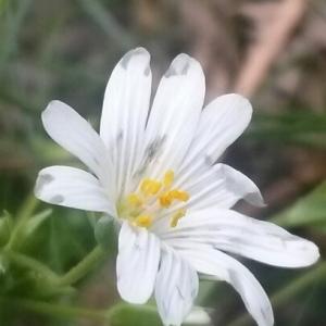 Cerastium sp.